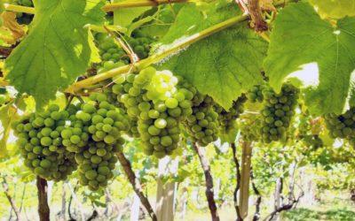 Rías Baixas estima que la cosecha 2020 puede rondar los 37,5 millones de kilos de uva