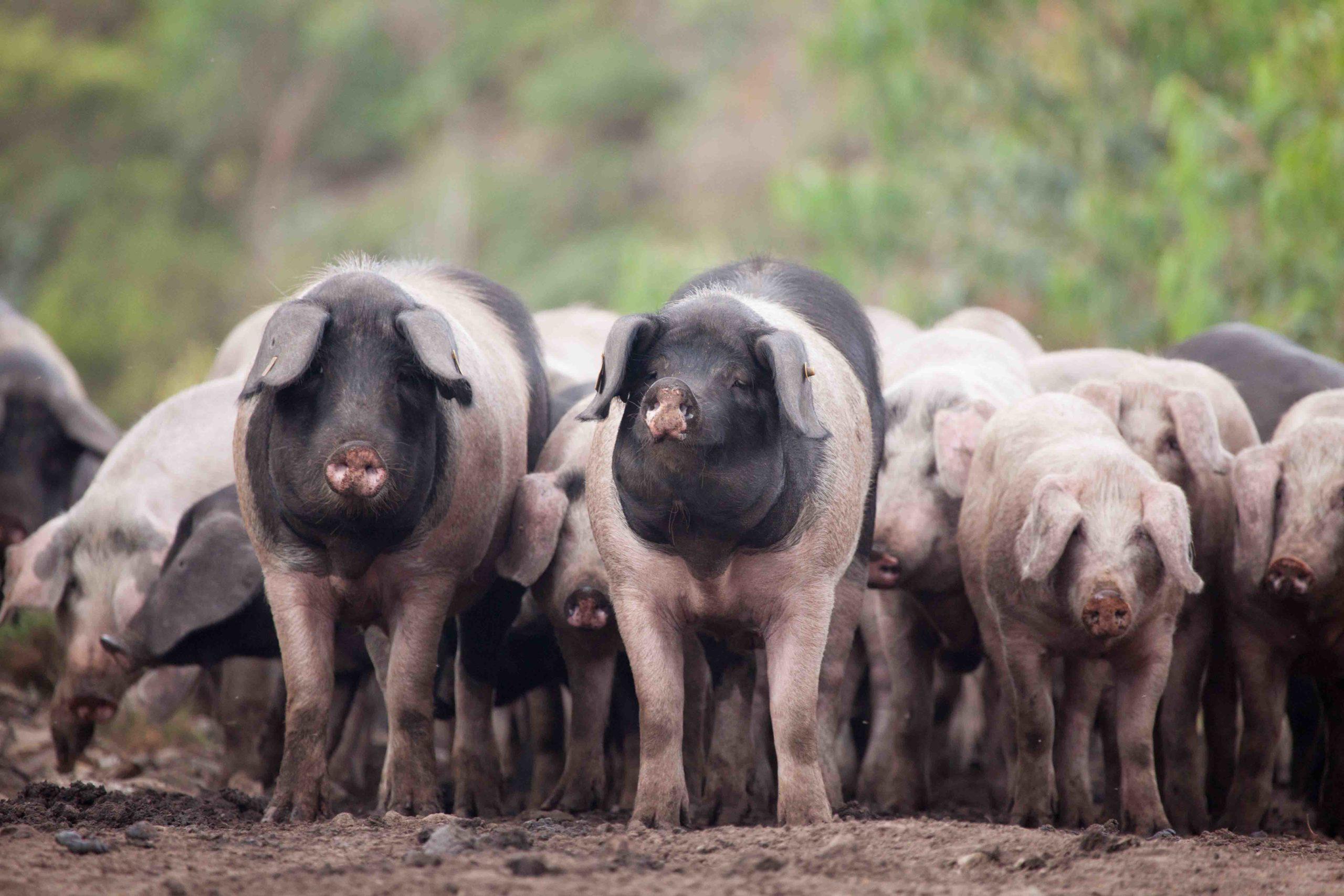 """La Xunta apoya a Asoporcel en el fomento de la explotación """"sostenible y rentable"""" del porco celta"""