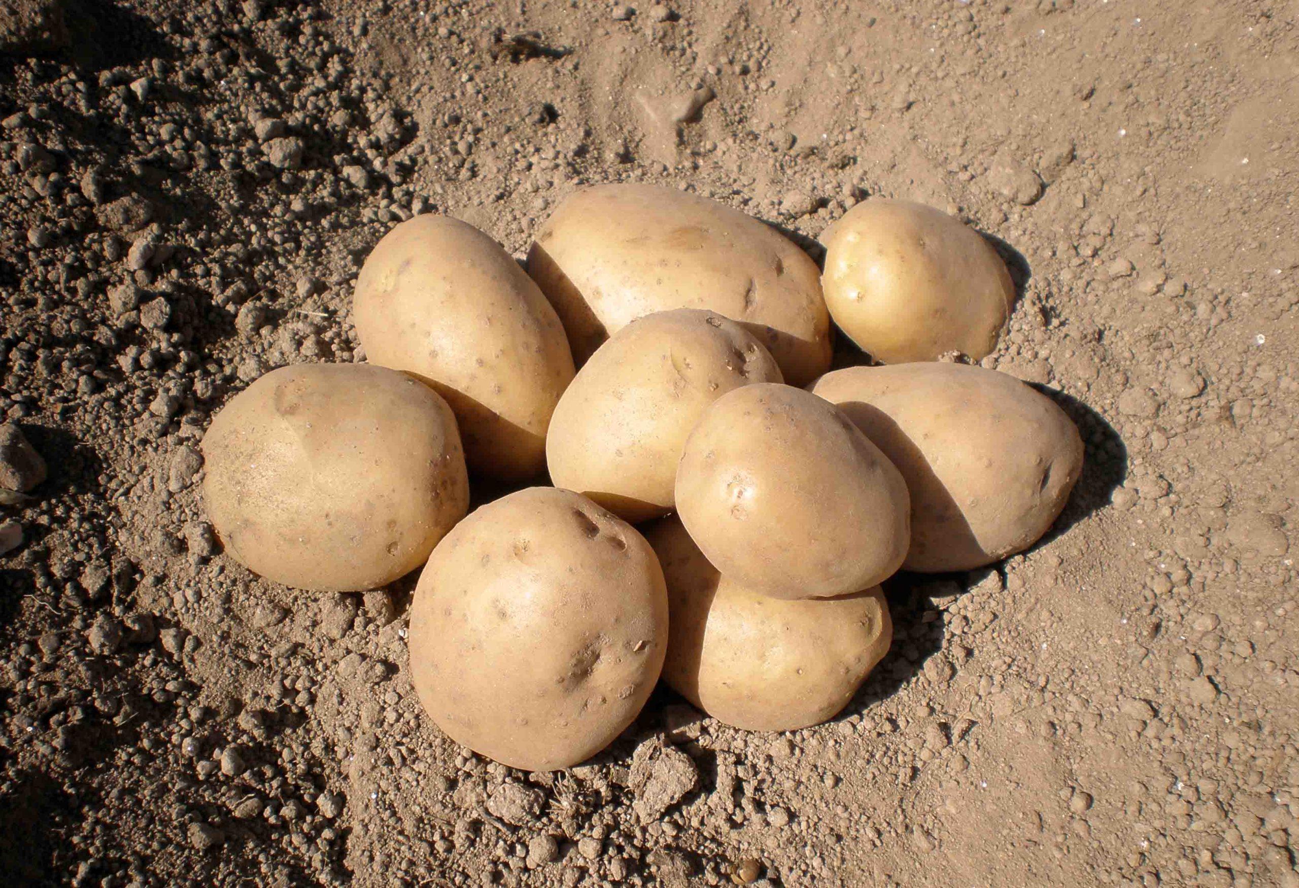 El Centro de Desenvolvemento Agrogandeiro del Inorde, listo para el cultivo de la patata de A Limia
